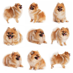 Red spitz in different poses