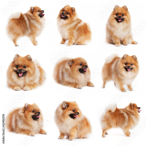 canvas print picture Red spitz in different poses