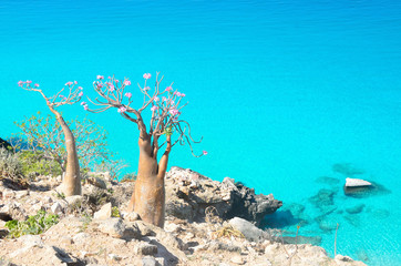 Сокотра, бутылочные деревья на скалистом берегу Аравийского моря