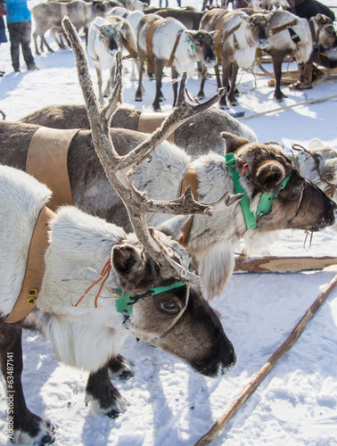 standing horned yamal domesticated reindeers