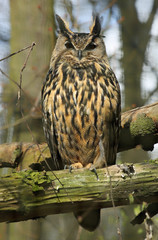 Close-up view of a Long-eared Owl (Asio otus)
