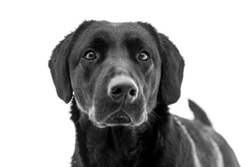 Black Labrador Retriever. Dog portrait on white background.