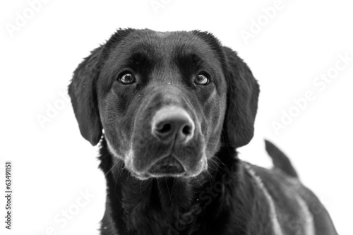 Black Labrador Retriever. Dog portrait on white background.