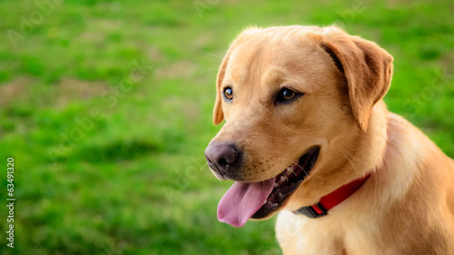 canvas print picture Labrador retriever dog in the meadow looking in the distance