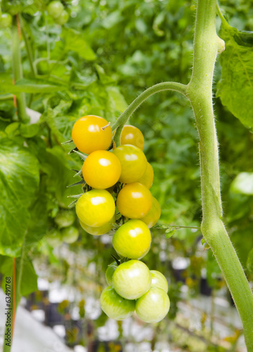 Orange and green cherry tomatoes on a plant, in the greenhouse