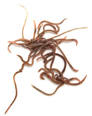 Worms on a white background. Macro