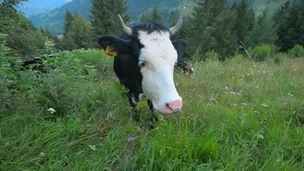 Cows graze in the mountains Carpathians