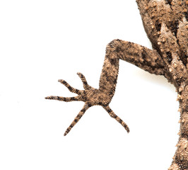 foot lizard on a white background. Macro
