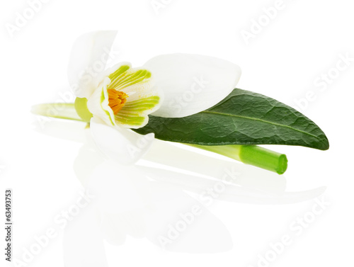 snowdrops on white background