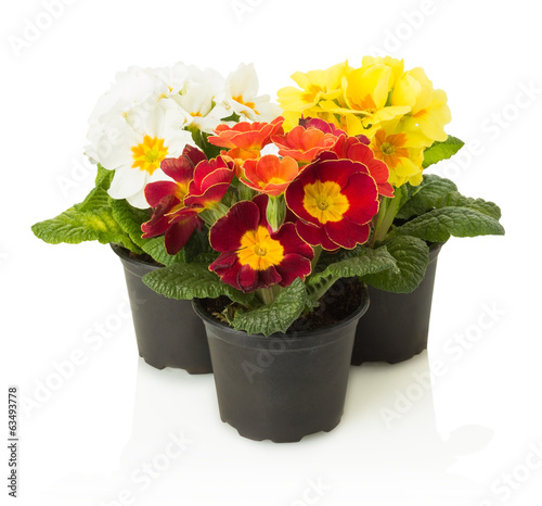 colorful primrose in pot isolated on white background