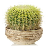 cactus on a white background