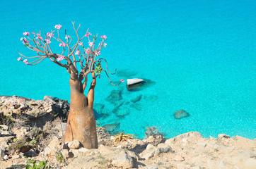 Бутылочное дерево на горе над бухтой Шуаб, остров Сокотра