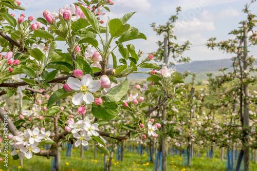 Apfelblüte im Frühling - 63494794