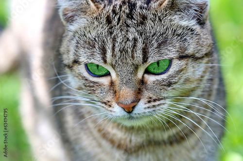 Beautiful striped cat with green eyes.