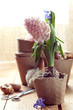Hyacinth flowers in turf pots and flower bulbs by a window