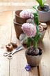 Hyacinth flowers in compostable pots and gardening tools