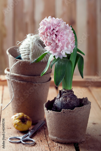 Hyacinth flowers in compostable pots and flower bulbs