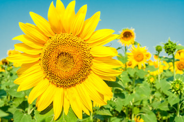 Flower of sunflower close-up
