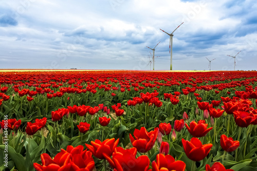 tulip field in spring