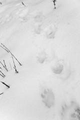 dog footprints on white snow