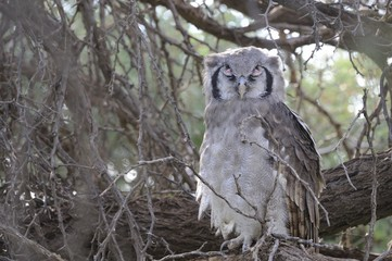 Giant Eagle Owl ( Bubo lacteus) in a Camel thorn tree