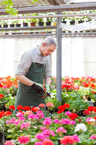 Gardener working in a greenhouse