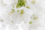 Kirschblüte - 63497541