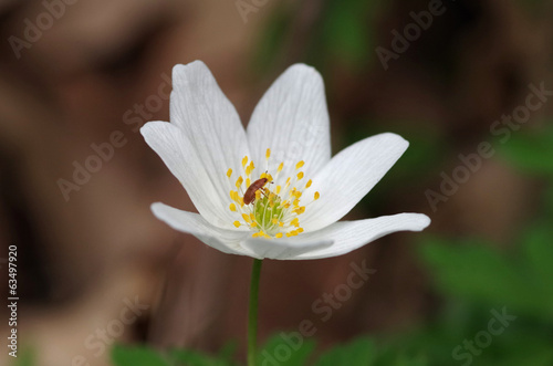 Anemone with beetle