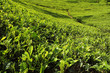 tea leaves growing on tea plantation