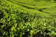 tea leaves growing on tea plantation