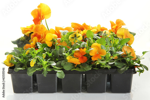 pansy flowers in a rows on white background