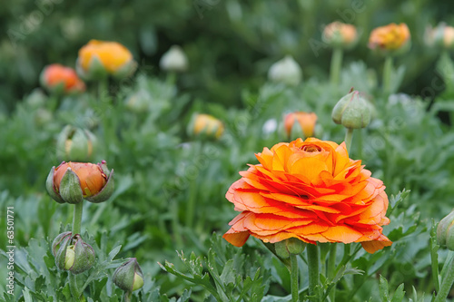 Red Ranunculus closeup