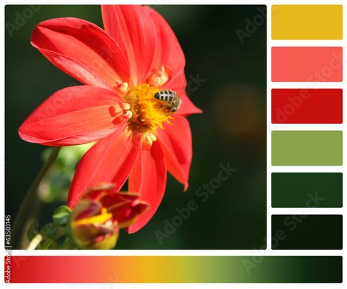 Bee On Dahlia Flower. Palette With Complimentary Colour Swatches