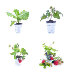 Young strawberry plant,collection