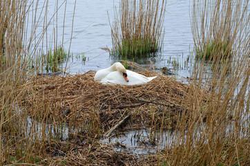 grosses Nest, Höckerschwan