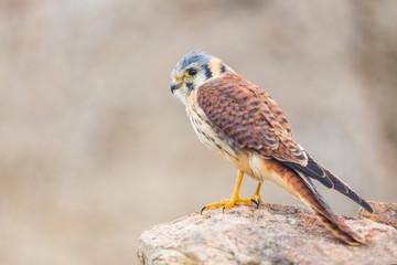 kestrel varied bird