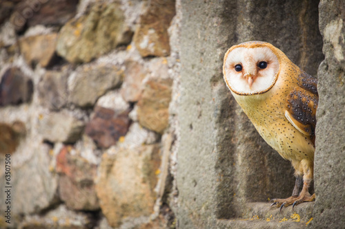 Foto op Canvas Uil Barn Owl bird