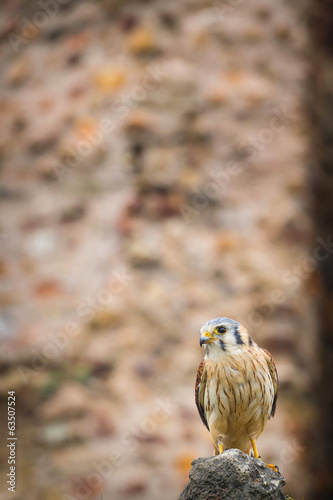 kestrel varied bird