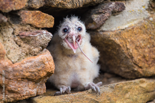 Barn Owl young bird