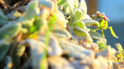 hoarfrost spring,plants covered with frost in spring