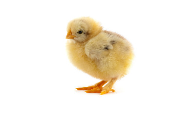 The yellow small chick
