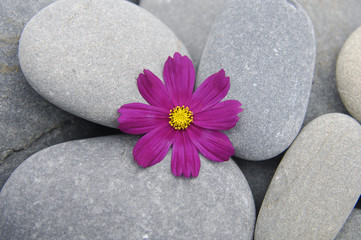 Pebbles background against beautiful spring red flower
