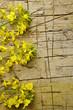 Brassica napus कैनोला Rapeseed Colza