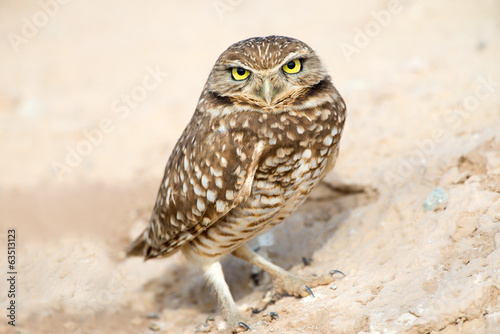 Serious Looking Burrowing Owl