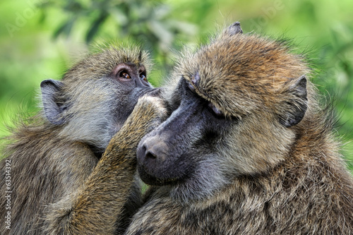 Tuinposter Aap Olive baboon