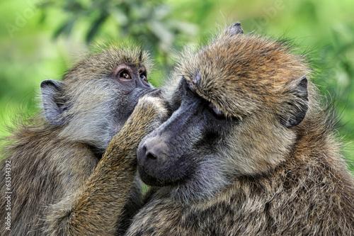 Foto op Canvas Aap Olive baboon