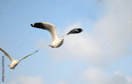 Beautiful Gull flying, Brown-headed Gull