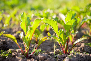 Young beet sprouts on bed