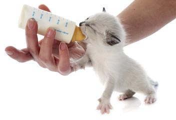 feeding siamese kitten