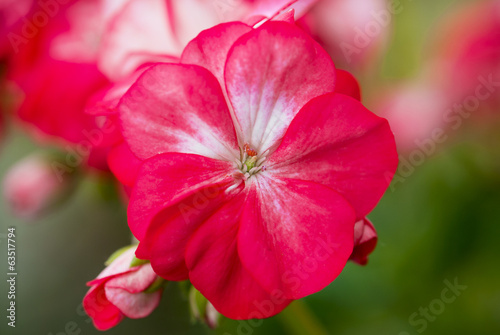 Close up of a red pelargonium flower